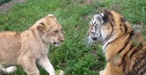 bebe-lion-tigre