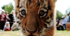 bebe-tigre