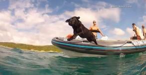 Le chien qui nage avec les dauphins