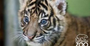bebe-tigre-sumatra