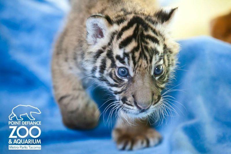 Buzztendance bebe tigre sumatra2 buzztendance - Bebe tigre mignon ...