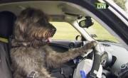 Enfin, les chiens apprennent à conduire